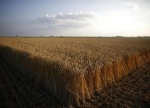 U.S. wheat futures fall to 2-week low, corn at 7-month trough