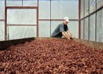 SOFTS-Cocoa sharply extends losses to multi-year lows on strong supply
