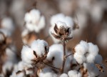 Soft futures lower; cotton extends losses ahead of USDA data