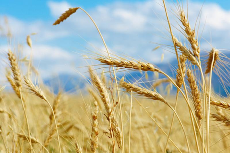 Wheat rises sharply ahead of USDA crop progress report