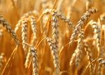 Wheat futures trade close to 7-week peak on U.S. weather concerns